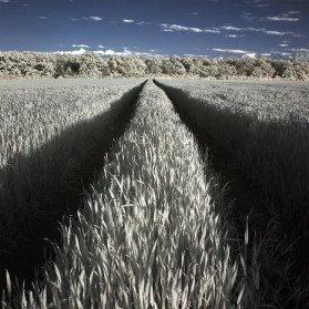 Sommerliches Feld in Infrarot bei Köthen