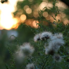 Canon EF 50mm F/1.8 STM Test - Pflanzen vor dem Licht des Sonnenuntergangs